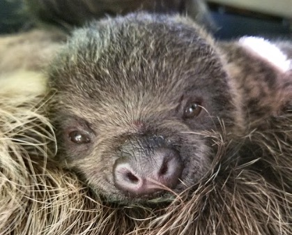 baby-sloth-born-at-honolulu-zoo.jpg